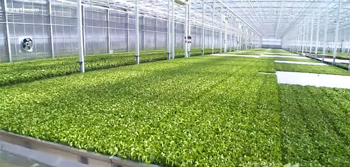 Revol Greens raises funds to build world's largest lettuce greenhouse in Texas