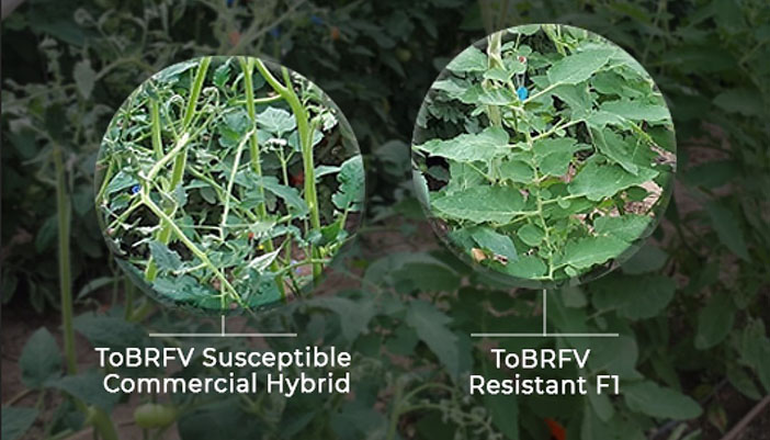 NRGene's genomic AI solutions will be used for marker-assisted integration of ToBRFV resistance into Philoseed's advanced commercial tomato varieties