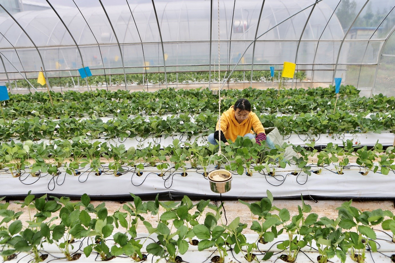 A member of the traditional farming teams tending to the strawberry beds at the Smart Agriculture Competition. (Source: Pinduoduo)