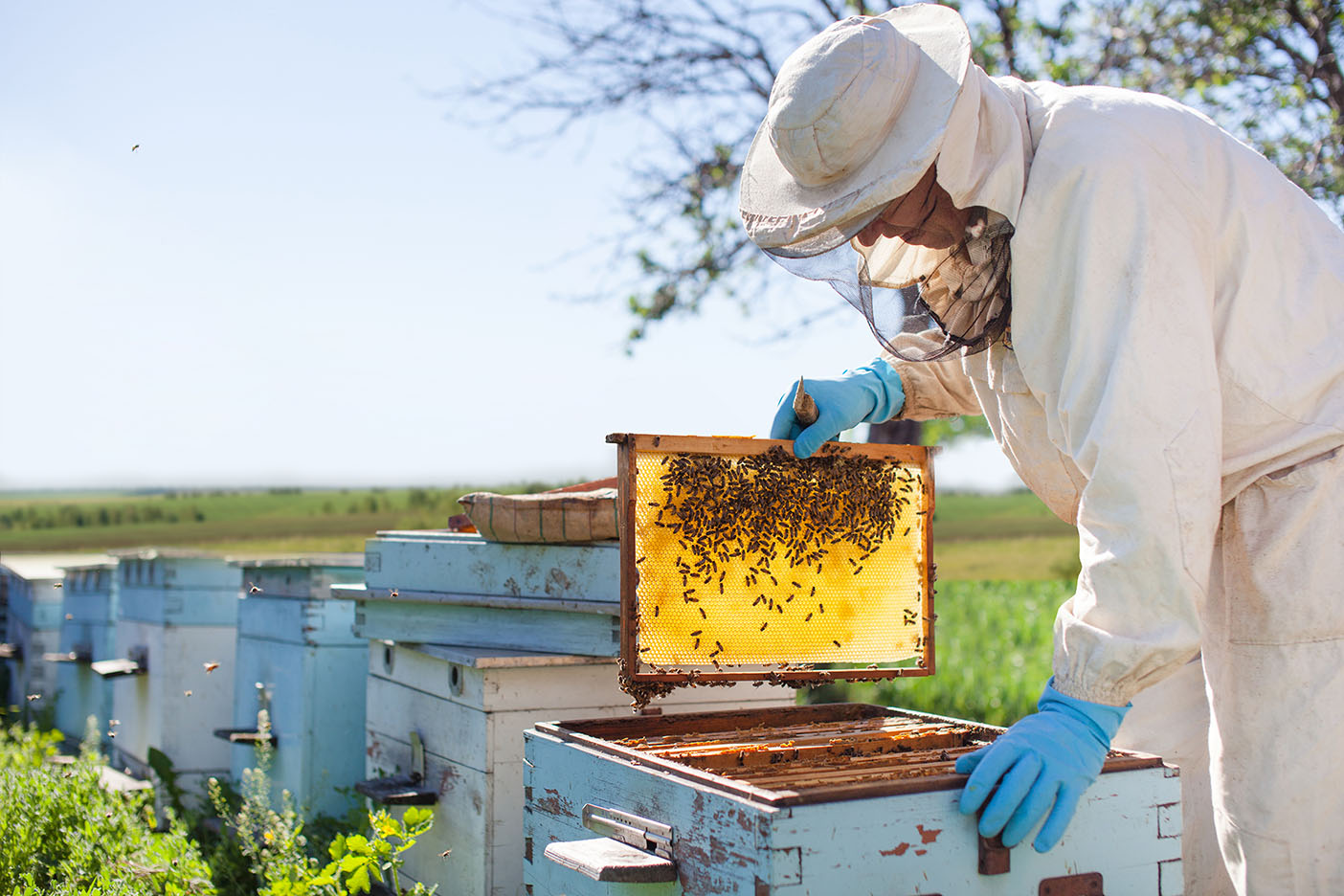 Beekeeper working with beehives on the apiary