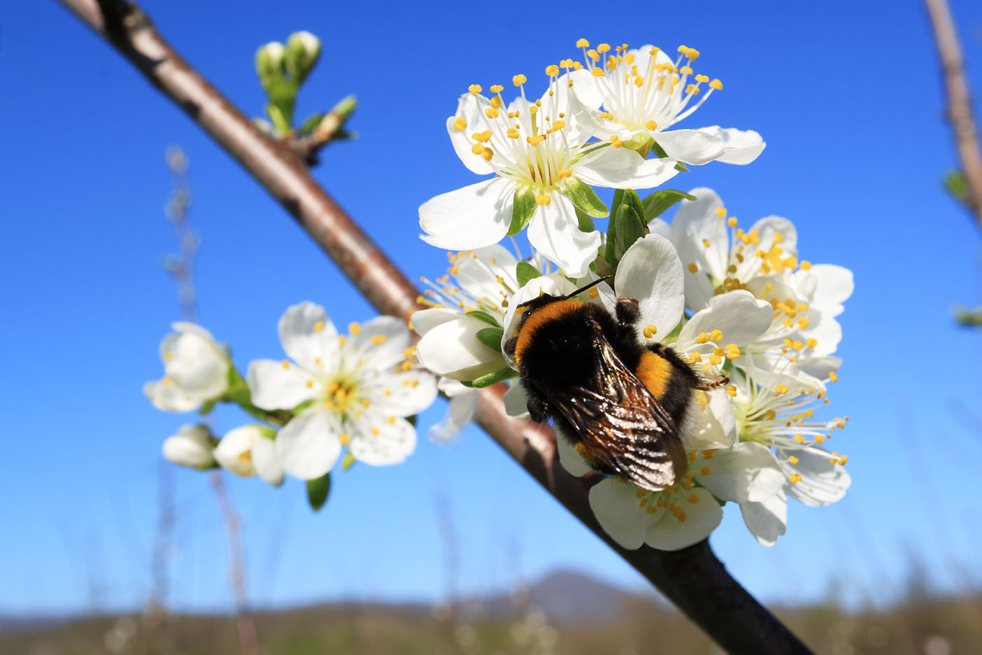 Bumblebee pollinating apple blossom in an orchard
