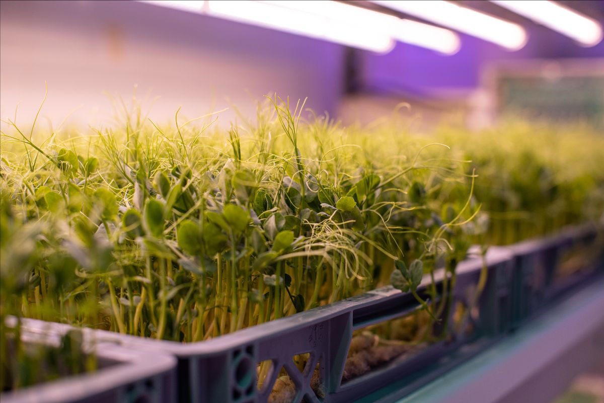 While the technologies can grow a wide range of crops, the trial will focus on growing kale and pea shoots, allowing for two repetitions per crop, per season.