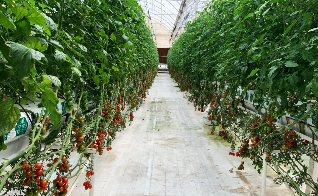 The farm produces more than 10,000 tonnes of produce each year serving over 1,400 supermarkets, restaurants, and cafes in Qatar.