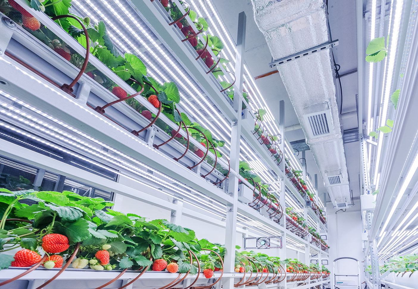 Strawberries grown with iFarm vertical farming technology