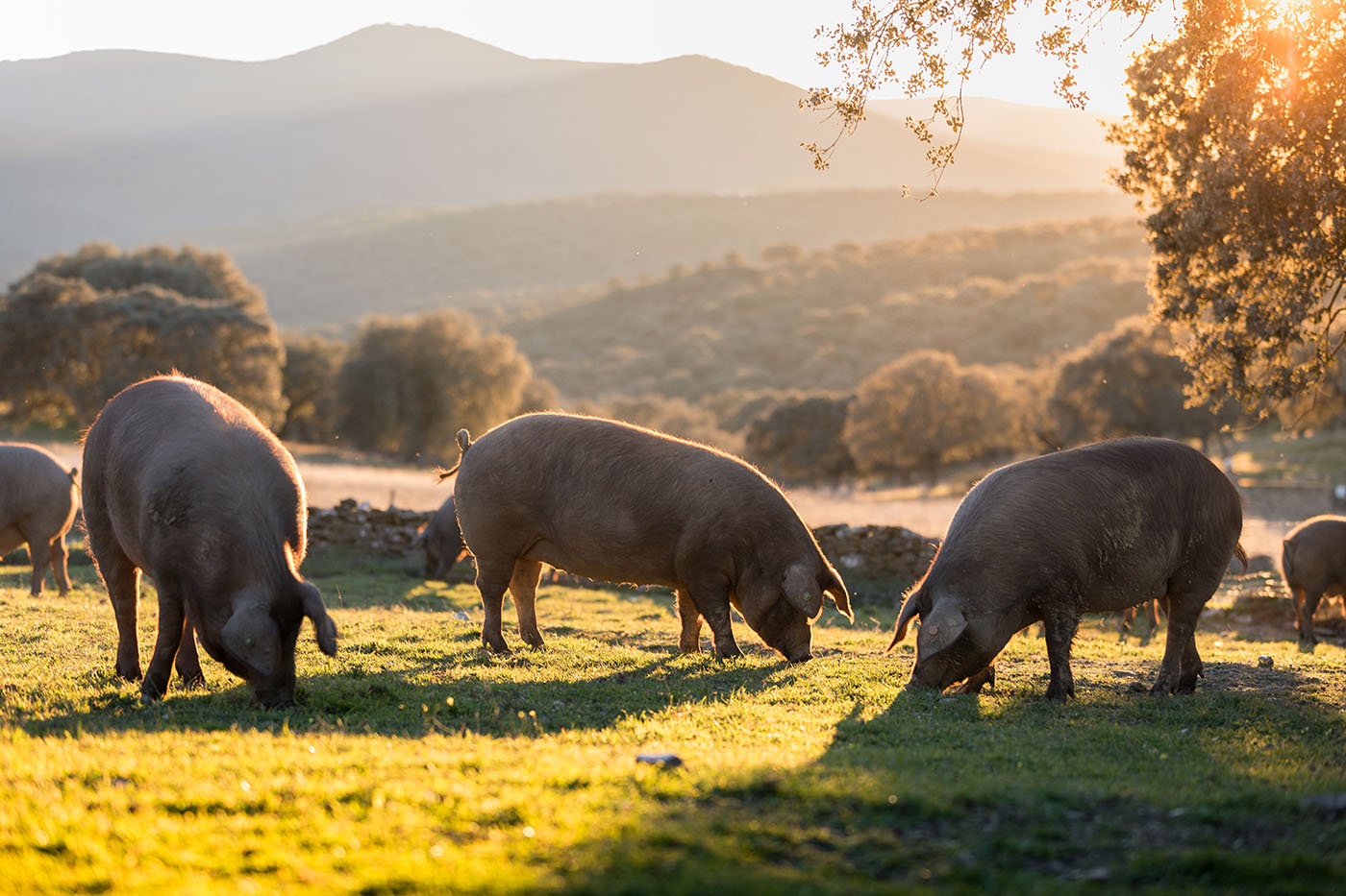 Wild pigs would naturally eat grass and what lives underneath it, including grubs, insects and their larvae. Insect oil is rich in lauric acid, a fatty acid that helps improve the intestinal health of animals, especially piglets.